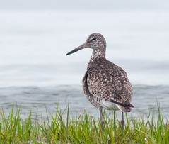 Willet - 2 (krisinct) Tags: bird beach nikon tokina tc 300 tamron f28 willet d300 14x