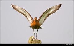 Touchdown! (Martin Ti) Tags: bird canon posing landing alblasserwaard 400mm grutto blacktailedgodwit limosalimosa weidevogel canonef400mmf56lusm bleskensgraaf geerweg canon7d gruttoboulevard