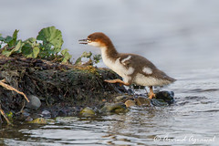 Common Merganser chick - IMG_5874-1 (arvind agrawal) Tags: