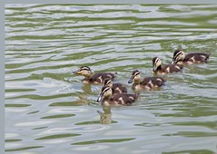 Ducklings (Russ Huslage) Tags: duckling ducks mallard waterfowl