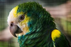 Yellow Shouldered Amazon Parrot (Mark Seton) Tags: cambridge animal zoo parrot cambridgeshire linton cambs amazonparrot lintonzoo amazonabarbadensis yellowshoulderedamazonparrot