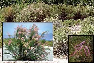 Photo - Tamarisk