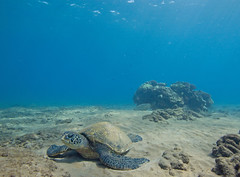 foreground and background (bluewavechris) Tags: ocean life blue sea brown green nature water animal coral swim canon hawaii marine underwater snorkel turtle reptile wildlife dive shell maui scales reef creature flipper 1022 seasea freedive t1i