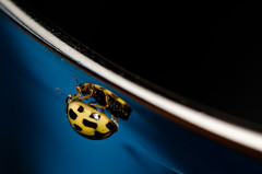 Reflections of a Lady Bird #2 (DMontalbano) Tags: camera plant flower macro closeup bug garden insect buzz photography photo nikon shot zoom beetle micro beatle ladybird ladybug beatles beetles d7000 nikond7000 danmontalbanophotography danmontalbano