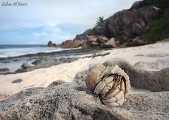 Hermit crabs   -  -  () Tags: lens super bin sultan crabs hermit qatar potographers  superlens potographer      binsultan lesnafi