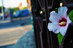 Street Flower (PaoloPHotograPHer84) Tags: street flower roma nature nikon strada natura fiore d3100