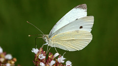 Large White Butterfly (Andy Hough Photography) Tags: england butterfly unitedkingdom butterflies didcot largewhite bestofblinkwinners blinksuperstars