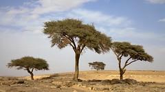 desert trees (dirk huijssoon) Tags: africa desert northafrica islam morocco marokko nkc campertour camperreis nkcrondrit rondritmarokko20144 nedrlandsekampeerautoclub camperreismarokko nkccampertout nkcreis