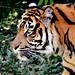 Sumatran Tiger, Del of Yokohama Zoological Gardens : スマトラトラのデル