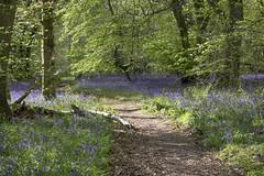 2015-04-30 Bluebells at White Down, Surrey 10 (Pondspider) Tags: flowers trees england bluebells forest woods south down surrey bluebell beech southdown hyacinthoides anneroberts nonscripta annecattrell pondspider