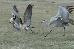 Goose-Crane Boundary Dispute DDZ_7702 (NDomer73) Tags: 21march2015 march 2015 bird canadagoose goose sandhill crane malheurnationalwildliferefuge malheurnwr malheur