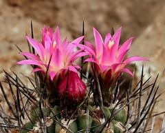 Eriosyce subgibbosa ssp. wagenknechtii 3539-1 (1) (pflanzenflsterer) Tags: chile cactaceae botanicalgarden neoporteria sukkulent grusongewchshuser