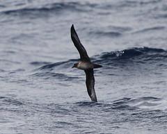 Trindade (Herald) Petrel (Pterodroma arminjoniana) (Frank Mantlik) Tags: northcarolina hatteras atlanticocean seabirds petrel pterodromaarminjoniana heraldpetrel trindadepetrel