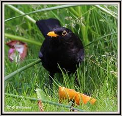 Blackbird male - Turdus merula (Malcolm Whitehead.) Tags: turdusmerula blackbird blackbirdmale