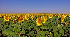 el seguimiento (mesana62) Tags: sky sun green yellow backlight hojas spain samsung seville andalucia explore note amarillo galaxy universal agricultura girasoles cylon13