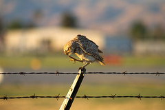 Rare baby Burrowing Owl scratching his head at the San Jose airport. (ChasenSFO) Tags: sf california cute fence adorable owl area bayarea perch sjc aww perched siliconvalley ba hoot fenc burrowingowl sanjoseca sanjoseairport ksjc adorbs sjairport sanjosenormanyminetaairport siliconvalleyairport