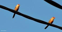 BICO-DE-LACRE OU BOMBEIRINHO OU BEIJO-DE-MOA (Estrilda astrid) - Common Waxbill (Roberto Harrop) Tags: bicodelacre bombeirinho beijodemoa estrildaastrid commonwaxbill aves birds pssaros aldeia paudalho robertoharrop
