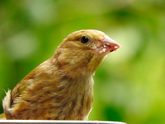 Young greenfinch taking a break from the blackberries! (macfudge1UK) Tags: nature 2016 avian bird britishbird britishbirds england fauna gb greatbritain oxfordshire oxon rspbgreenstatus uk wildlife allrightsreserved bbcautumnwatch autumn nikon coolpix coolpixp610 p610 nikoncoolpixp610 britain birdfeeder finch greenfinch juvenile perch perching youngster young seedtray alittlebeauty naturethroughthelens ngc goldwildlife