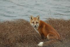 Sitting Pretty (blkwolf1017) Tags: redfox fox tundra prudhoebay deadhorse alaska vulpesvulpes canon50d sigma150500mm