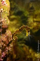 Brazilliaans Zeepaardje - Hippocampus reidi -  longsnout seahorse4 (MrTDiddy) Tags: brazilliaans zeepaardje zee paard paardje hippocampus reidi longsnout seahorse sea horse long snout vis fish zooantwerpen zoo antwerpen antwerp