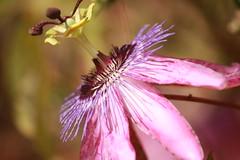 Passiflora. (melamasso) Tags: passiflora