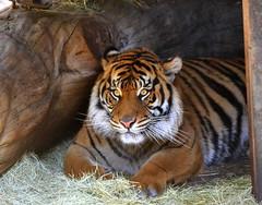 DSC_0230 (tracie7779) Tags: sumatrantiger zoo