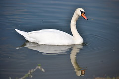 (Swan On The Danube) (vladobgd) Tags: danube swan labud dunav nikon d3100 lens water 55200 krcedin reka river    reflection