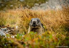 He and I (vlastimil_skadra) Tags: marmot animals animal slovakia hightatras ngc animalplanet cut outdoor outdoorlife travel traveling europe