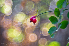 Rose Hips (brady tuckett) Tags: meyeroptikgrlitztrioplan100mmf28 meyeroptikgrlitztrioplan meyeroptikgrlitz meyer grlitz 100mm bradytuckett brady tuckett trioplan bokeh nature macro leaves light plant leaf flora color colors flower flowers m42 macros photosynthesis m42lenses m42mount red green