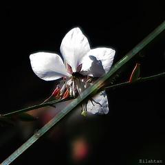 The other side (nathaliedunaigre) Tags: macromondays hmm contrejour backlit nature fleur flower contraste contrast ombre shadow carr square insecte macro