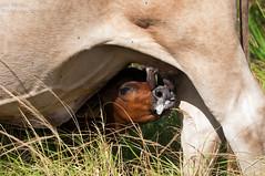 Got Milk ? ... (ac4photos.) Tags: cow mother calf milk udder bovine puns farmanimals animal nature florida agricultrual nikon d300s ac4photos ac
