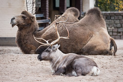 2016-10-01-18h25m19.BL7R0027 (A.J. Haverkamp) Tags: canonef100400mmf4556lisiiusmlens amsterdam noordholland netherlands zoo dierentuin httpwwwartisnl artis thenetherlands rendier rangifertarandus reindeer kameel camel nl