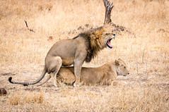 2016_09_Lwen_Paarung (a-thomas) Tags: serengeti tanzania kenya national parc lion lions mating lwe