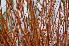 Crossed destinies (Goruna) Tags: plant crossed pflanze lines osier weiden korbweide salix goruna tree willow