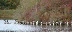 Vogels (Omroep Zeeland) Tags: meeuwen en aalscholvers