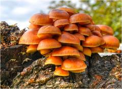 Sulphur tuft . (Alan Burkwood) Tags: fungi sulphurtuft hypholomafasciculare