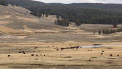 untitled-8 (eenerf) Tags: wyoming yellowstonecanyon yellowstonepark naturalbeauty nature bison