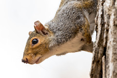 Squirrel Close Up (Andy-Anderson) Tags: easterngraysquirrel nature mammal newjersey animals squirrelschipmunksmarmotsprairiedogssciuridae fall loantakabrook outdoors autumn nj sciuruscarolinensis squirrel