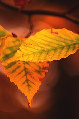 Dance (AlisAquilae) Tags: dance dancing leaves leaf closeup autumn color colors gold orange green bokeh november seasons change colder windy canon canon5dmarkiii