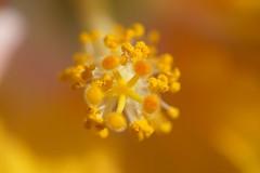 yellow yellow yellow (tt.water) Tags: flower center stamens 6000 sony macro yellow