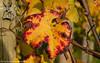 Its autumn in the vineyards. (andreasheinrich) Tags: nature vineyard wineleaf autumn october afternoon sunny colorful germany badenwürttemberg neckarsulm dahenfeld deutschland natur weinberg weinblatt herbst nachmittag sonnig farbenfroh nikond7000