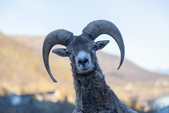 What's up, Dude! (Toftus Photography) Tags: troms troms tromso nature norway norge naturallight natur goat animal