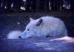 Daydreaming... (pianocats16, miau...) Tags: arctic white wolf berlin zoo
