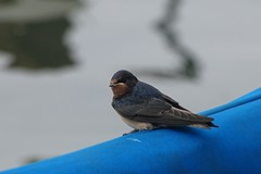 DSC01826 (simon_curwen) Tags: swallow bird feeding chick