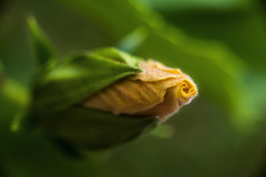 The Promise Of Renewal (J Swanstrom (Check out my albums)) Tags: hibiscus flower yellow peach green bokeh blur dof jswanstromphotography nikon d750 renewal fuzz fuzzy details extensiontubes