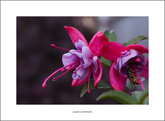 Fuschia and wasp (Descended from Ding the Devil) Tags: canon40d canonefs60mmmacro dof beyondbokeh bokeh depthoffield flower fuschia garden insect leaves outdoor photoborder plant primelens selectivefocus wasp