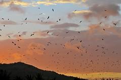 Migratory raptors (mattlaiphotos) Tags: nationalpark sunset twilght nightfall raptor eagle nikon grayfacedbuzzardeagle buzzard migration migratorybird bird predator wildlife nature soar fly flying sky flockkentingnationalpark taiwan birdwatching