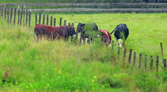 rainy day love... (al-ien) Tags: viewsfromtheporch bull cattle fenceline