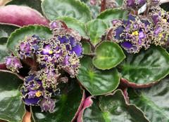 16-IMG_4741 (hemingwayfoto) Tags: berggartenhannover blhen blte blume flora floristik natur topfpflanze usambara usambaraveilchenindigoruffles veilchen zierpflanze zuchtform