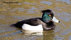 Tufted Duck (M) (DougRobertson) Tags: tufted duck weymouth rspb radipole lake bird wildlife animal nature